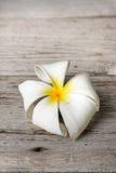 Flor blanca del Plumeria Imagen de archivo libre de regalías