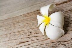 Flor blanca del Plumeria Fotografía de archivo