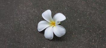 Flor blanca del Plumeria Imagenes de archivo
