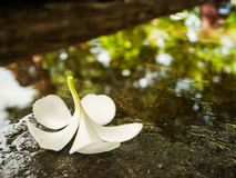 Flor blanca del Plumeria fotos de archivo