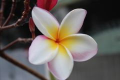 Flor blanca del Plumeria Foto de archivo