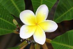 Flor blanca del plumeria con descensos del agua Imagenes de archivo