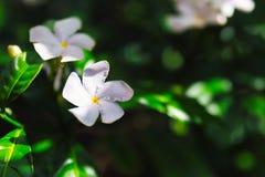 Flor blanca del plumeria en el bosque tropical de Hawaii foto de archivo
