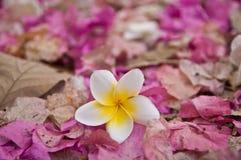 Flor blanca del Plumeria en Wilt Pink Bougainvillea Flower Debris Imagen de archivo libre de regalías