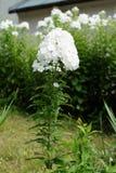 Flor blanca del polemonio Imagen de archivo