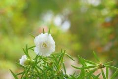 Flor blanca del portulaca Foto de archivo