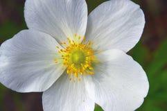 Flor blanca del prado Primer Imagen de archivo libre de regalías