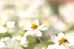 Flor blanca del primer en fondo de las flores blancas del bulr - Imagen fotografía de archivo