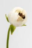 Flor blanca del ranúnculo del primer con la abeja Fotos de archivo