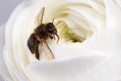 Flor blanca del ranúnculo del primer con la abeja Imagen de archivo