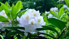 Flor blanca del rododendro en el jardín Fotografía de archivo libre de regalías