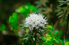 Flor blanca del romero imagenes de archivo