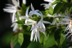 Flor blanca del shuli Foto de archivo libre de regalías