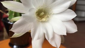 Flor blanca del succulent metrajes