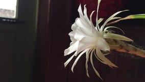 Flor blanca del succulent almacen de video