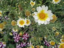 Flor blanca del verano Fotos de archivo