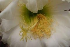 Flor blanca durable delicada del cactus en un jardín botánico foto de archivo