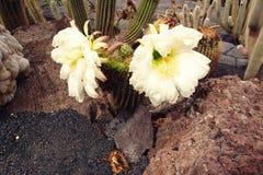 Flor blanca durable delicada del cactus en un jardín botánico fotografía de archivo libre de regalías