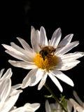 Flor blanca e insecto foto de archivo