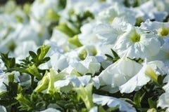 Flor blanca en Bahrein Foto de archivo libre de regalías