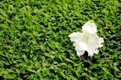 Flor blanca en césped Imágenes de archivo libres de regalías