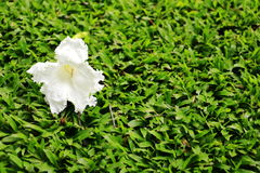 Flor blanca en césped Imagenes de archivo