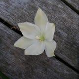 Flor blanca en cubierta foto de archivo