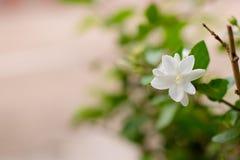 Flor blanca en el árbol con el fondo del modelo, brunc del árbol Imágenes de archivo libres de regalías