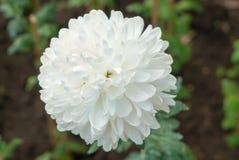 Flor blanca en el jardín Fotos de archivo libres de regalías