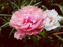 Flor blanca en el jardín foto de archivo