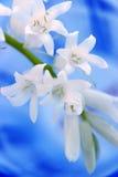 Flor blanca en fondo azul Foto de archivo