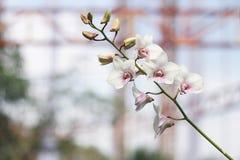 Flor blanca en fondo del jardín, flor blanca de la orquídea Imágenes de archivo libres de regalías