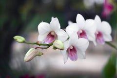 Flor blanca en fondo del jardín, flor blanca de la orquídea Fotos de archivo libres de regalías