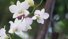 Flor blanca en fondo del jardín, flor blanca de la orquídea Imagenes de archivo