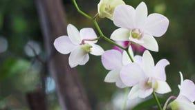 Flor blanca en fondo del jardín, flor blanca de la orquídea Foto de archivo libre de regalías