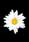 Flor blanca en fondo negro Fotos de archivo libres de regalías