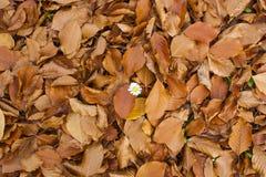 Flor blanca en hojas caidas Fotografía de archivo