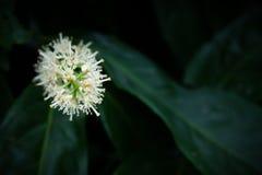 Flor blanca en hojas verdes Imagenes de archivo
