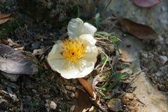Flor blanca en Hong-Kong en el lantau de la isla Imagenes de archivo