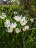 Flor blanca en jardín Foto de archivo libre de regalías