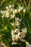 Flor blanca en jardín Fotos de archivo