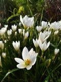 Flor blanca en jardín Fotografía de archivo