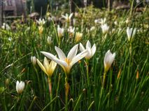 Flor blanca en jardín Imagenes de archivo