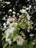 Flor blanca en jardín Imagen de archivo libre de regalías