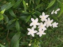 Flor blanca en jardín Foto de archivo