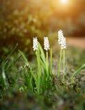 Flor blanca en jardín de piedras Álbum del Muscari Imagenes de archivo