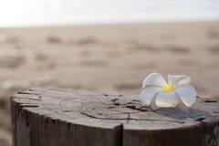 Flor blanca en la playa imagenes de archivo