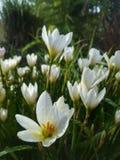 Flor blanca en luz del sol de la mañana del jardín Imagenes de archivo