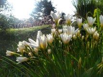 Flor blanca en luz del sol de la mañana del jardín Imágenes de archivo libres de regalías