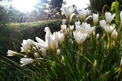 Flor blanca en luz del sol de la mañana del jardín Foto de archivo